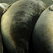 Elephant Seal Pups Art Print