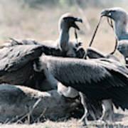 Eurasian Griffon Vulture Gyps Fulvus Art Print