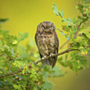Eurasian Scops Owl Art Print