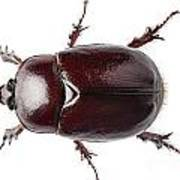 European Rhinoceros Beetle Female  Art Print