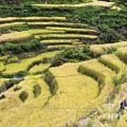Farmers At Rice Field Art Print