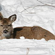 Fawn In The Snow Art Print