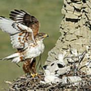 Ferruginous Hawk And Chicks Art Print