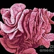 Fimbriae Of A Fallopian Tube, Sem Art Print