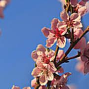 Flowering Peach Tree Art Print