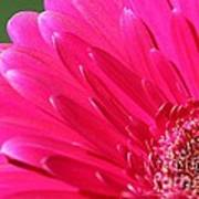 Gerbera Daisy Named Raspberry Picobello Art Print