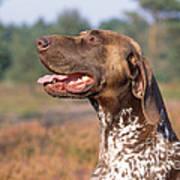 German Short-haired Pointer Dog Art Print