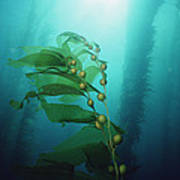 Giant Kelp Macrocystis Pyrifera Forest Art Print
