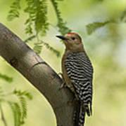 Gila Woodpecker  Art Print