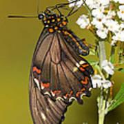 Gold Rim Swallowtail Butterfly Art Print