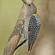 Golden-fronted Woodpecker Art Print