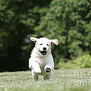 Golden Retriever Puppy Art Print by John Daniels