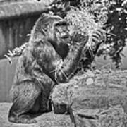 Gorilla Eats Black And White Art Print