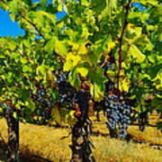 Grapes On The Vine Print by Jeff Swan