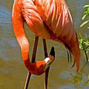 Greater Flamingo Art Print