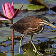 Green Heron Photo Art Print
