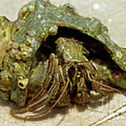 Green Striped Hermit Crab Art Print