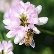 Honeybee On Crown Vetch Art Print