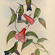 Hummingbirds Art Print by Philip Ralley