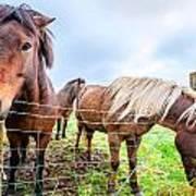 Icelandic Ponies Art Print