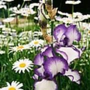 Iris And Daisies Art Print