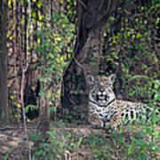 Jaguar Panthera Onca, Pantanal Art Print