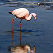 James Or Puna Flamingo Art Print