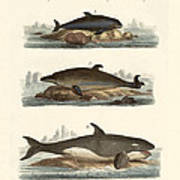 Kinds Of Whales Art Print