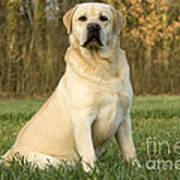 Labrador Retriever Dog Art Print