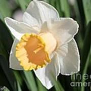 Large-cupped Daffodil Named Mrs. R.o. Backhouse Art Print