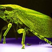 Leafhopper, Sem Art Print by David M. Phillips