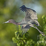 Little Blue Heron Art Print