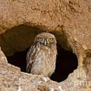 Little Owl Athene Noctua Art Print