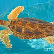 Loggerhead Sea Turtle Art Print
