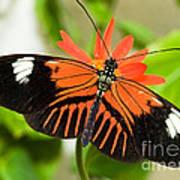 Madeira Butterfly Art Print