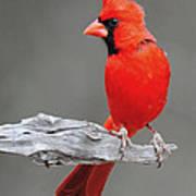 Male Cardinal Art Print
