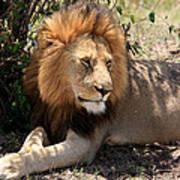Male Lion On The Masai Mara  Art Print
