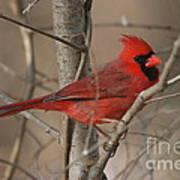 Male Northern Cardinal Art Print