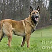 Malinois, Belgian Shepherd Dog Art Print