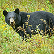 Meadow Black Bear Art Print