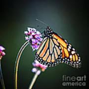 Monarch Butterfly Print by Elena Elisseeva
