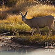 Mule Deer   #3950 Art Print