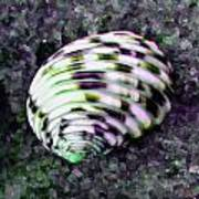 Nerita Versicolor Four-tooth Nerite Shell Art Print