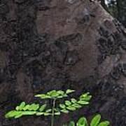 New Leaves Born On Old Tree Art Print