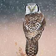 Northern Hawk Owl Art Print