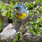 Northern Parula Art Print