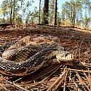 Northern Pine Snake Art Print