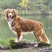 Nova Scotia Duck Tolling Retriever Art Print