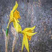 2 Old Daffodils Art Print