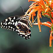 Orchard Swallowtail Art Print